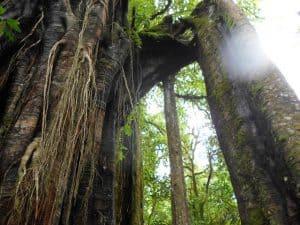 parc naturel bali arbre centenaire