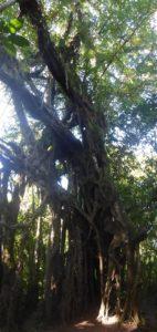 arbre sacré banyan ficus bali