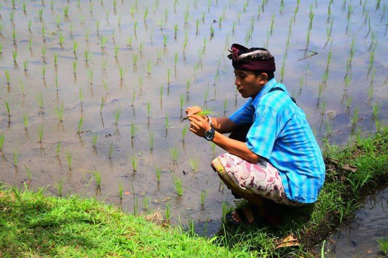 rizières riziculture bali découverte traditions