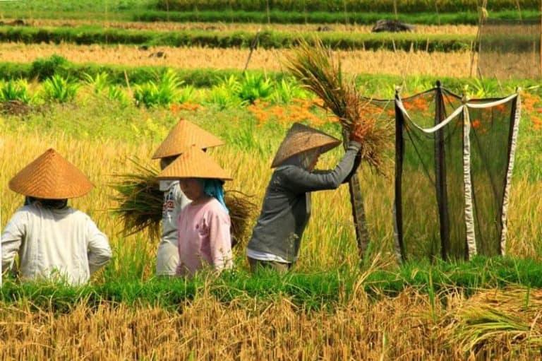 Bali rizières fermiers