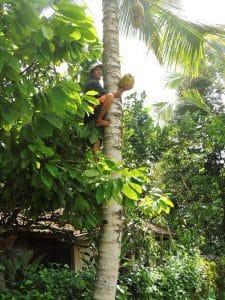 noix de coco bali indonésie