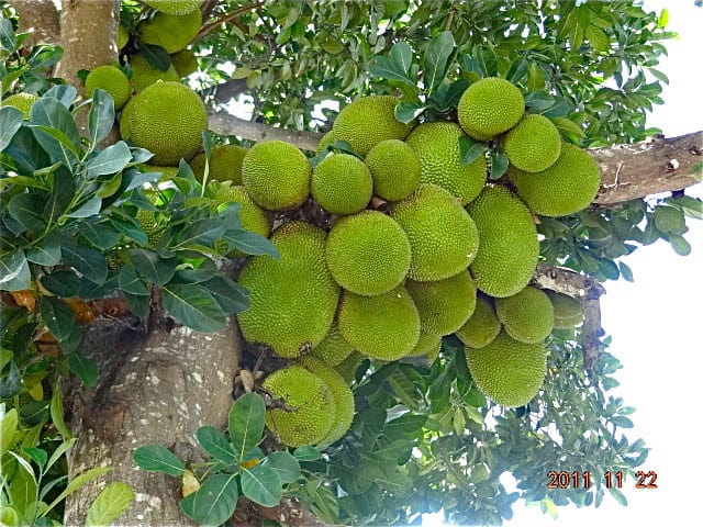 Bali jackfruit Bali Authentique