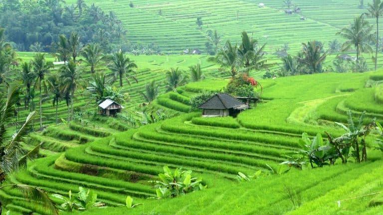 Bali jatiluih rice fields panorama