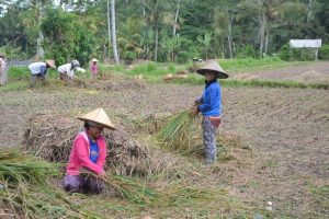 Bali récolte riz