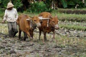 Bali rice field farmers vache