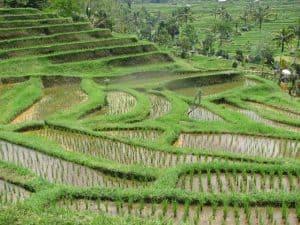 Bali rice field tegallalang