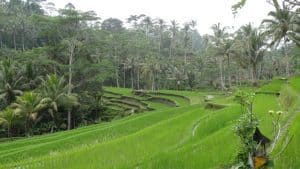 Bali rice fields Tegallalang Bali Authentique