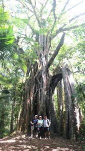 banyan ficus arbre sacré