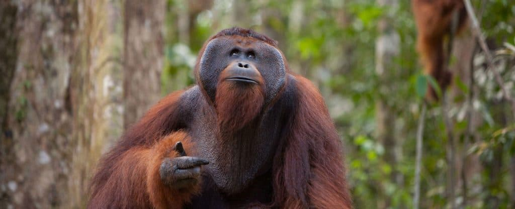 Borneo orang outan Tanjung Puting jungle Kalimantan Indonésie