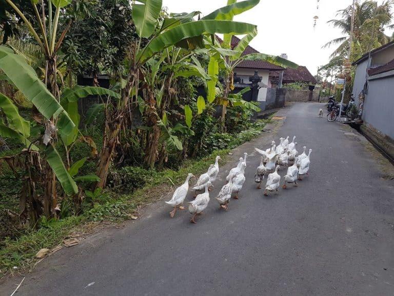 canard bali indonesie