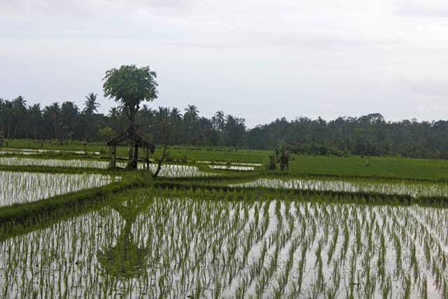récolte de riz rizieres bali
