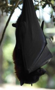 chauve souris gigantesque indonésie