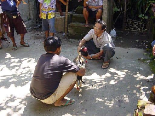 combat coqs tradition indonésienne