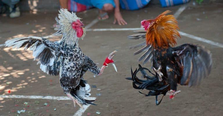 combat de coqs bali