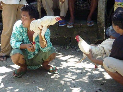coqs combat bali tradition