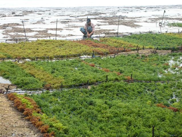 culture algues ile nusa lembongan