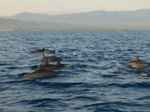 dauphins bali océan indien