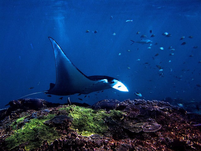 diving Manta raie Bali Indonesia
