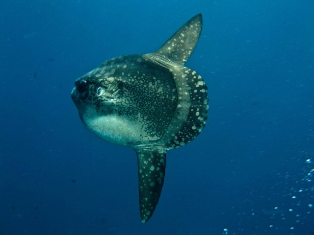 diving Mola Mola poisson lune Bali Indonesia
