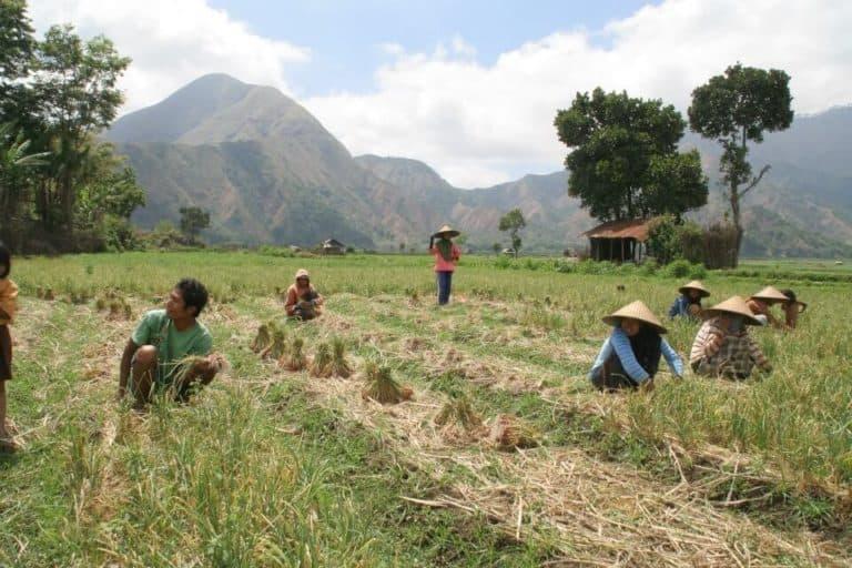 fermiers Indonésie récolte