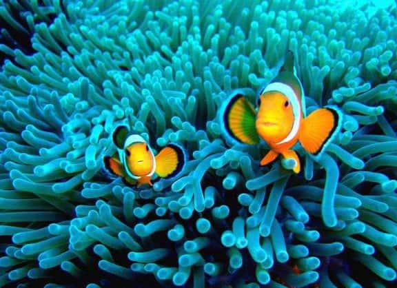 plongée anémone poisson clown