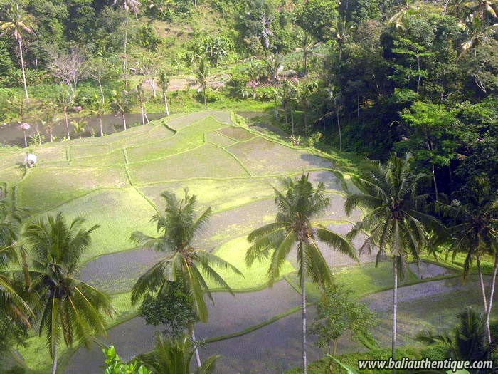 hotel bali ubud vue rizières