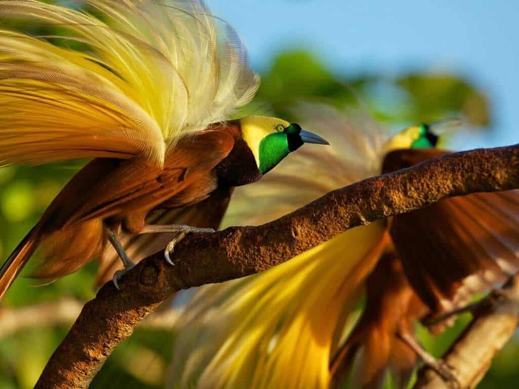 indonesie papuasie oiseau de paradis
