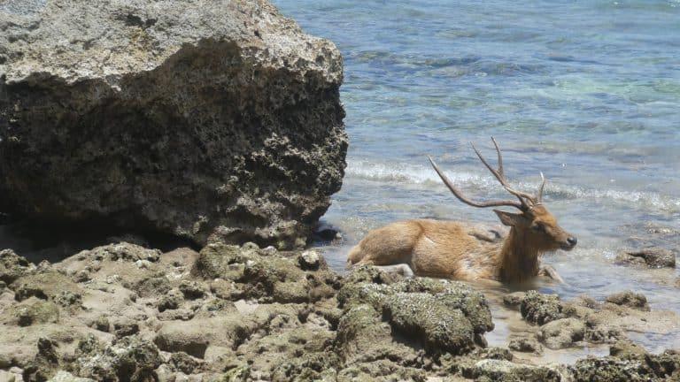 Java mer et bêtes à cornes