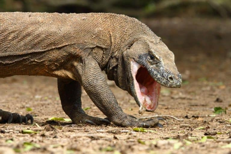 Komodo Dragon Gueule Ouverte