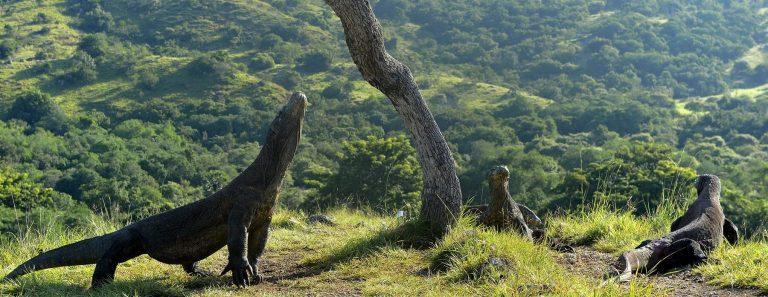 Komodo-Dragons-Rinca-île-Flores