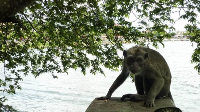 lac de serangan ile java singe indonesie
