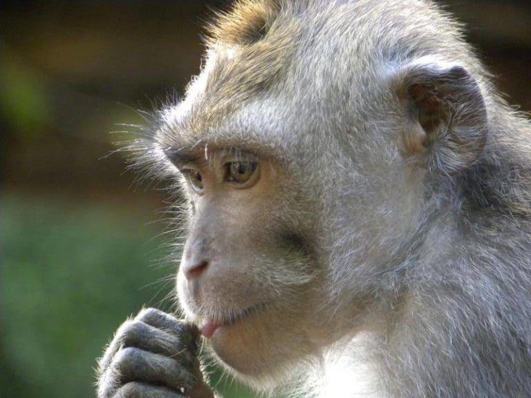 singe Monkey Forest Bali