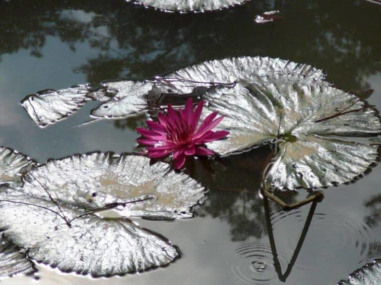 nénuphar violet Bali Taman Ujung