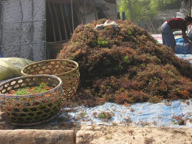 nusa lembongan algues decouverte travail