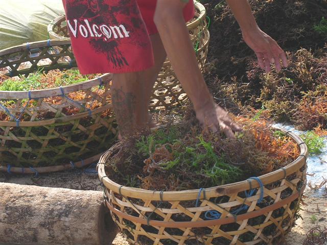 nusa lembongan algues indonesie