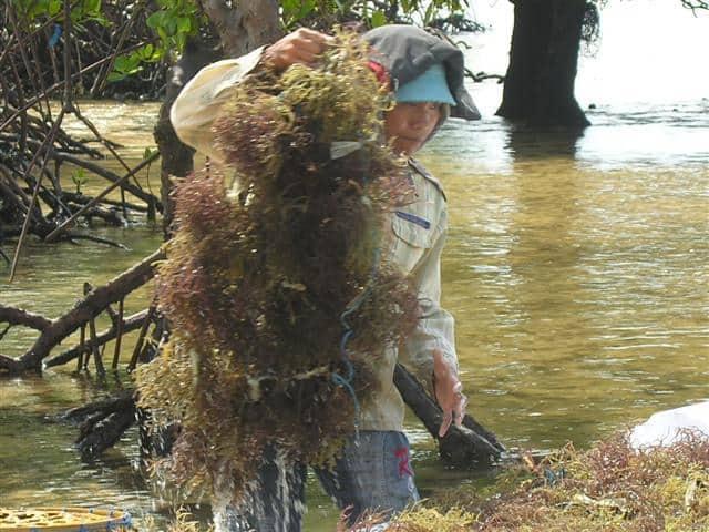 nusa lembongan culture algues
