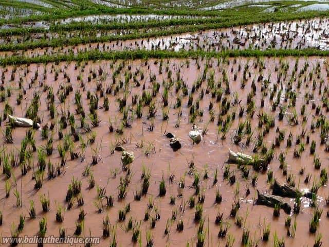 pays toraja sulawesi paysage rizieres indonesie