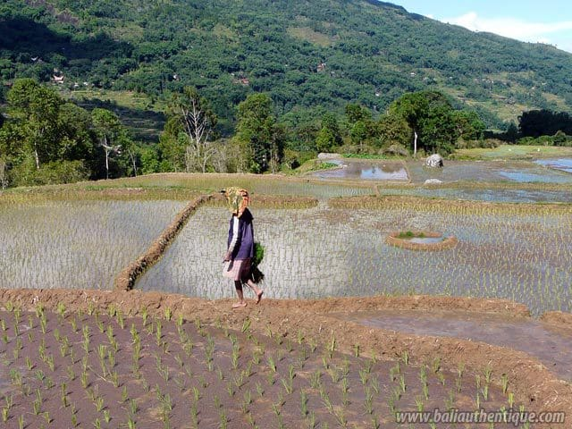 pays toraja sulawesi paysage rizieres