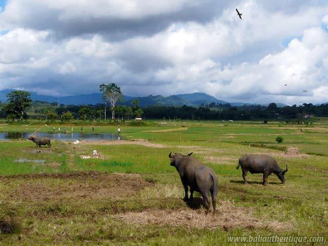 pays toraja sulawesi paysage traditionnel