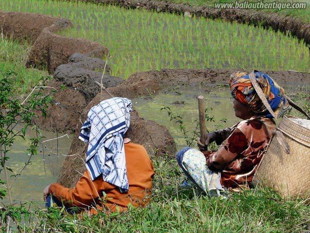 pays toraja sulawesi travailleuses rizieres