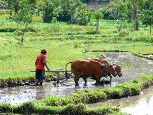 travail dans les rizières bali