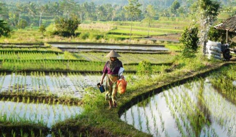 paysage balinais travail rizières