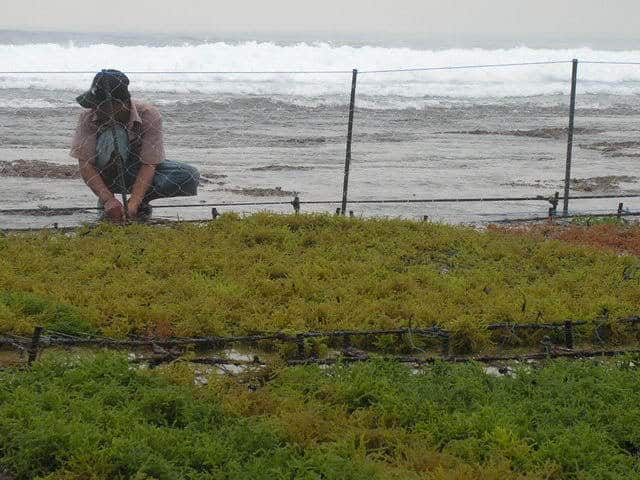 paysan nusa lembongan culture algues