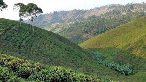 ile de java plantation thé indonésie