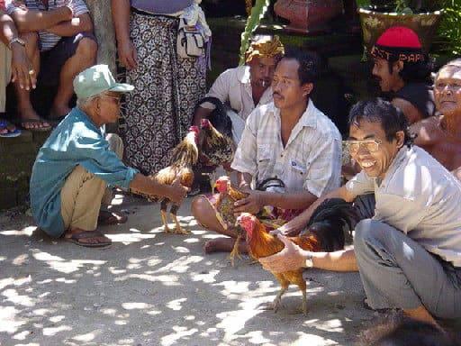 preparation combat coqs bali tradition