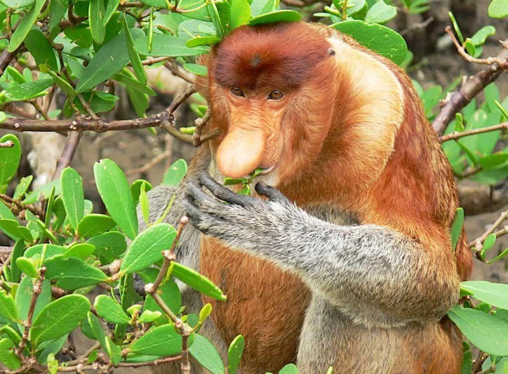 singe nasique Tanjung Puting Borneo