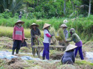 culture balinaise récolte de riz bali
