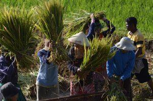 Tetebatu Lombok récolte riz indonésie