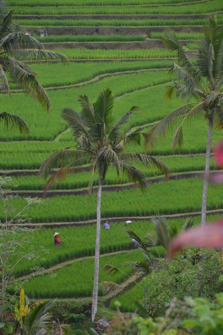 rizières bali indonesie