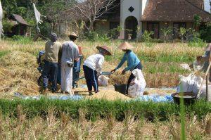 travail dans les rizières balinaises indonésie